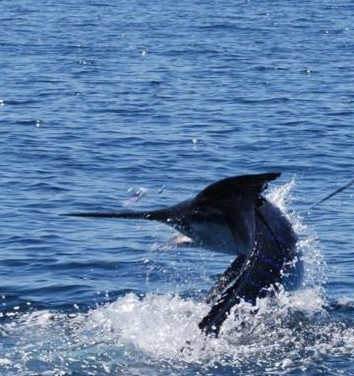San carlos san carlos sports fishing charters mexico guru for San carlos mexico fishing